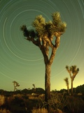 Star Trails and Joshua Trees Photographic Print by Richard Cummins