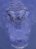 American Alligator in Water Photographic Print by Daniel Cox