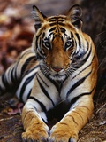 Young Female Tiger Lying on Rock Photographic Print by Theo Allofs