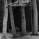 Beech Forest, Netherlands, 1971 Photographic Print by Brett Weston