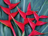 Red Heliconia Flowers Lmina fotogrfica por Darrell Gulin