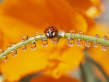 Ladybug Crawling Photographic Print by Craig Tuttle