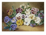 Pansies Premium Giclee Print by Thomas Frederick Collier