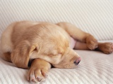 Sleeping Labrador Puppy Photographic Print by Jim Craigmyle