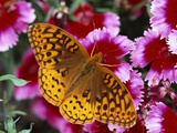 Butterfly Landing on Flowers Photographic Print by Ralph Morsch