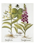 Herb Paris, Common Foxglove and Large Yellow Foxglove Reproduction procédé giclée par Basil Besler