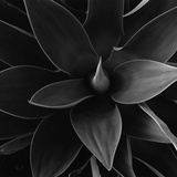 Close View of a Desert Plant Photographic Print by Brett Weston