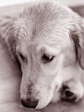 Golden Retriever Photographic Print by Bill Varie