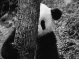 Panda Behind a Tree Photographic Print by Keren Su