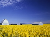 Spring Canola Crop Photographic Print by Terry Eggers