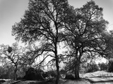 Three Oaks and Boulder Photographic Print by Gordon Osmundson