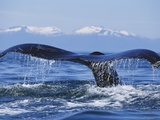 Tail of Surfacing Humpback Whale Photographic Print by Paul Souders