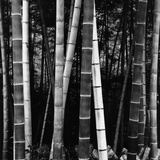 Bamboo Forest Photographic Print by Brett Weston