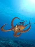Octopus cyanea or Day Octopus Fotografisk tryk af Stuart Westmorland