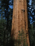 General Sherman Tree Photographic Print by Bob Rowan