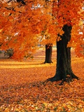 Maple Trees in Autumn Photographic Print by Kathleen Brown