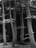 Beech Forest Photographic Print by Brett Weston
