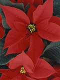 Poinsettia Photographic Print by Tom Grill