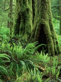Moss Growing on Trees in Rainforest Photographic Print by David Muench