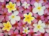 Plumeria Flowers Fotografisk tryk af Darrell Gulin