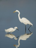 Snowy and Great Egrets Photographic Print by Arthur Morris