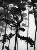 Pines in Fog Photographic Print by Brett Weston