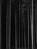 Aspen Forest by Brett Weston Photographic Print by Brett Weston
