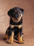 Rottweiler Puppy Photographic Print by Jim Craigmyle