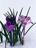 Crocuses in Snow Photographic Print by Darrell Gulin