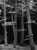Beech Forest Fotodruck von Brett Weston