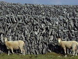 Hobbled Sheep by a Dry Stone Wall Photographic Print by Alen MacWeeney