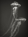 Two Jellyfish Photographic Print by Henry Horenstein