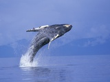 Young Humpback Whale Breaching in Frederick Sound Photographic Print by Paul Souders