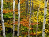 Birch and Maple Trees in Autumn Photographic Print by Darrell Gulin