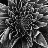 Velvet Leaved Plant by Brett Weston Reproduction photographique par Brett Weston