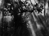 Sunbeams in Trees Photographic Print by Brett Weston