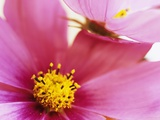Cosmos Photographic Print by David Roseburg