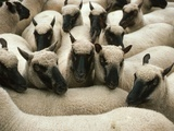 Animals at Findon Sheep Fair Photographic Print by Roger Wilmshurst