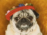 Pug Wearing Floral Hat Photographic Print by Leland Bobbé