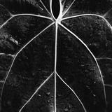 Veins of a Leaf Photographic Print by Brett Weston