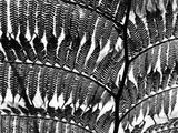 Fern Silhouette by Brett Weston Photographic Print by Brett Weston