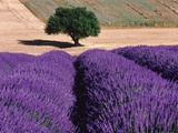 Solitary Tree in a Field of Lavender Photographie par Bryan F. Peterson