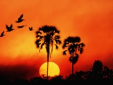 Ivory Palm and Pelicans at Sunset in Botswana Fotografisk tryk