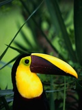Chestnut-Mandibled Toucan Photographic Print by Tom Brakefield