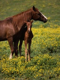 Arabian Mare and Foal Photographic Print by Tom Brakefield