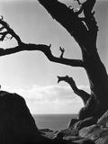 Point Lobos Cypress Fotodruck von Brett Weston