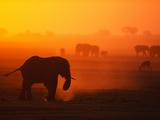 Elephant Herd Silhouetted Against Orange Sky Fotografisk tryk af Theo Allofs