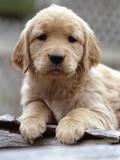 Golden Retriever Puppy Photographic Print