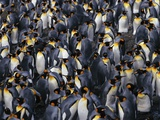 King Penguin Colony Photographic Print by John Conrad