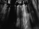 Sunbeams in Trees Fotografie-Druck von Brett Weston